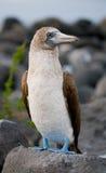 Blauw-betaalde domoren die op de rotsen zitten De eilanden van de Galapagos vogels ecuador Royalty-vrije Stock Foto