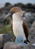 Blauw-betaalde domoren die op de rotsen zitten De eilanden van de Galapagos vogels ecuador Royalty-vrije Stock Afbeeldingen