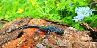 Blauw-bevlekte Salamander (Ambystoma laterale) Stock Foto