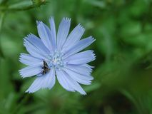 Blauw bloem en insect op het stock fotografie
