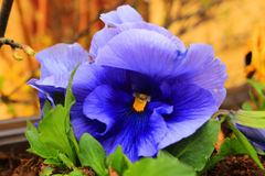 Blauw bloem-viooltje stock afbeelding