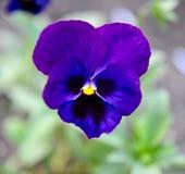 Blauw bloemenviooltje Stock Afbeeldingen