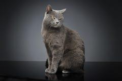 Blauw Brit Cat in een donkere studio Royalty-vrije Stock Fotografie