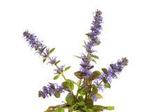 Blauw bugelkruid, of Ajuga reptans, bloemen stock fotografie