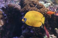 Blauw-cheeked butterflyfish, Chaetodon-semilarvatus het zwemmen Stock Foto