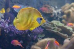 Blauw-cheeked butterflyfish, Chaetodon-semilarvatus het zwemmen Stock Fotografie