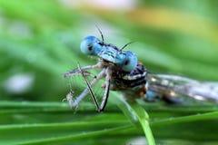 Blauw Damselfly-close-up van de ogen Stock Afbeeldingen