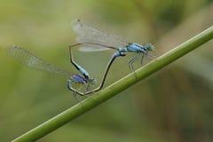 Blauw-de steel verwijderd van damselflies, Ischnura elegans, koppelend op een installatiestam stock foto's