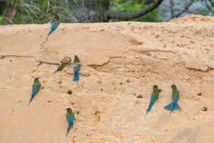Blauw-de steel verwijderde van bij-Eter Merops-philippinus royalty-vrije stock foto's