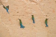Blauw-de steel verwijderde van bij-Eter Merops-philippinus royalty-vrije stock afbeelding