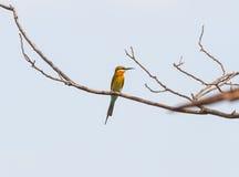 Blauw-de steel verwijderde van bij-eter (philippinus Merops) vogelvangst op de boom royalty-vrije stock afbeelding
