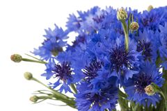Blauw die Korenbloemkruid of de bloemboeket van de vrijgezelknoop op witte achtergrond wordt geïsoleerd royalty-vrije stock afbeeldingen