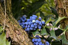 Blauw druivenfruit op de boom Royalty-vrije Stock Afbeeldingen