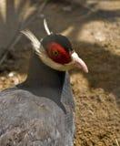 Blauw-eared fazant Royalty-vrije Stock Afbeeldingen