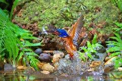 """Blauw-eared Ijsvogel†""""Mannetje Stock Fotografie"""
