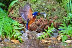 Blauw-eared Ijsvogel - Mannetje Royalty-vrije Stock Foto's