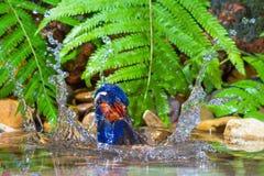 Blauw-eared Ijsvogel - Mannetje Stock Foto