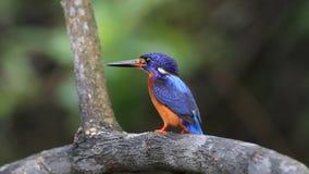 Blauw-eared Ijsvogel (mannetje) stock footage