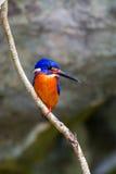 Blauw-eared Ijsvogel (mannetje) Stock Foto