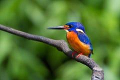 Blauw-eared Ijsvogel (mannetje) Royalty-vrije Stock Afbeelding
