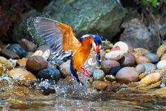 Blauw-eared Ijsvogelmannetje Stock Afbeeldingen