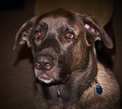 Blauw, een een Mastiff en Malamute-Mengeling met zijn mismoedige oren stock afbeeldingen