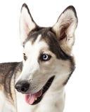Blauw en Bruin Eyed Husky Dog Profile Stock Fotografie
