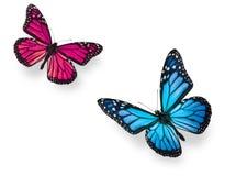 Blauw en de Roze Vlinder van de monarch Stock Foto