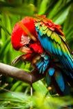Blauw-en-geel-ara Papegaai stock foto's