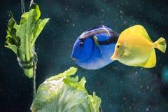Blauw en Geel Tang Fish Eating Lettuce Royalty-vrije Stock Fotografie