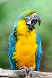 Blauw-en-gele Ara â (ararauna van Aronskelken) Stock Fotografie
