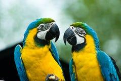 Blauw-en-gele ara Royalty-vrije Stock Afbeelding