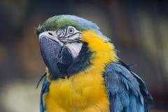 Blauw-en-gele Ara Royalty-vrije Stock Fotografie