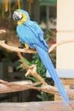 Blauw-en-gele Ara Royalty-vrije Stock Foto