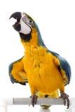 Blauw-en-gele Ara Royalty-vrije Stock Foto's