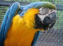 Blauw-en-gele Ara - ararauna van Aronskelken Royalty-vrije Stock Afbeelding