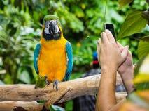 Blauw-en-gele Ara - ararauna van Aronskelken Stock Foto's