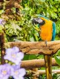 Blauw-en-gele Ara - ararauna van Aronskelken Stock Foto