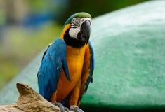 Blauw-en-gele Ara (ararauna van Aronskelken) Stock Afbeeldingen