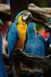 Blauw-en-gele Ara (ararauna van Aronskelken) Royalty-vrije Stock Afbeeldingen