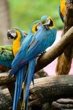 Blauw-en-gele Ara (ararauna van Aronskelken) Royalty-vrije Stock Foto
