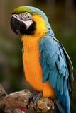 Blauw-en-gele Ara (ararauna van Aronskelken) Royalty-vrije Stock Fotografie