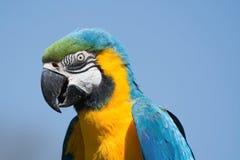 Blauw-en-gele Ara (ararauna van Aronskelken) Stock Afbeelding
