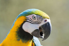 Blauw-en-gele Ara (ararauna van Aronskelken) Stock Foto