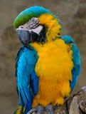 Blauw-en-gele ara (Aronskelkenararauna), Arapapegaai stock afbeeldingen