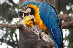 Blauw-en-gele ararauna van araaronskelken op een boom die een mango eten Stock Foto