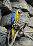 Blauw-en-gele ararauna van de Aronskelken van de Ara Royalty-vrije Stock Foto