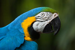 Blauw-en-gele ararauna van de Aronskelken van de Ara Stock Afbeeldingen