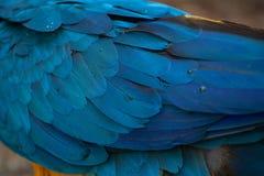 Blauw-en-gele ararauna van de Aronskelken van de Ara Gevedertetextuur, Stock Afbeeldingen