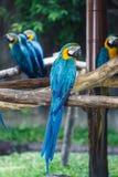 Blauw-en-gele die Ara (Aronskelkenararauna), ook als wordt bekend blauw-en Stock Foto's